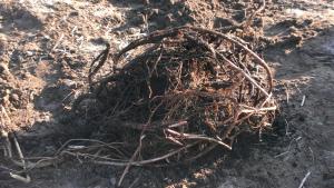 Kluwen hop rhizomen met de eerste uitlopers