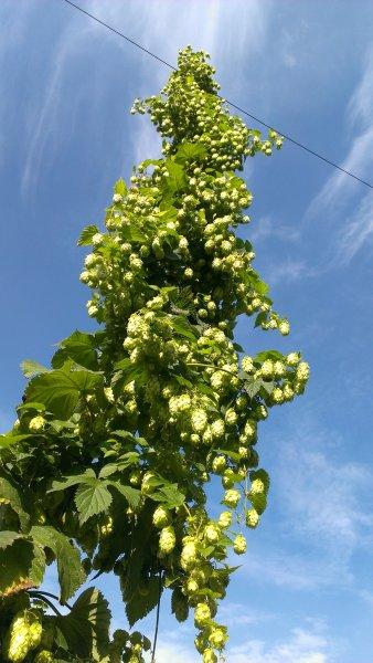 Hopplant klaar om te oogsten