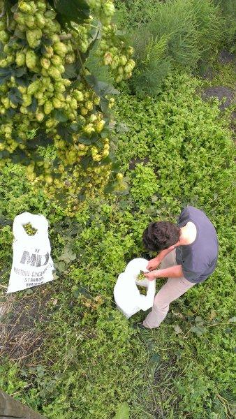 Hopbellen oogsten